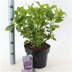 Picture of Hydrangea macr. 'Renate Steiniger'