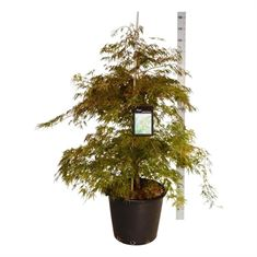 Picture of Acer pal. dissectum