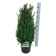 Picture of Buxus sempervirens bush