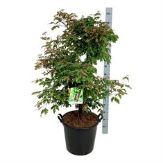 Picture of Acer griseum
