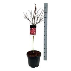 Picture of Acer pal. Brands Dwarf