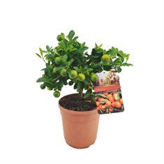 Picture of Citrus calamondin