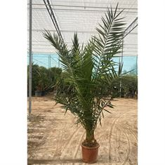 Picture of Phoenix canariensis