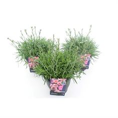 Picture of Dianthus garden pinks mix