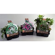 Picture of Groundcover plants in 4-pack Mixed shelf