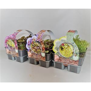Picture of Groundcover plants in 6-pack Mixed shelf