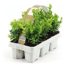 Picture of Buxus sempervirens 6-pack  (Minimum order is 1 shelf)