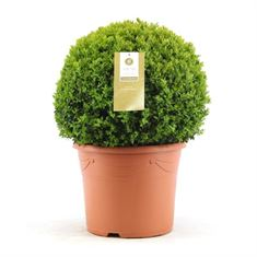 Picture of Buxus 40 cm. ball (Minimum order is 1 shelf)