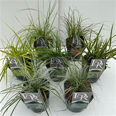 Picture of Carex mix