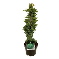 Picture of Juniperus procumbens Nana