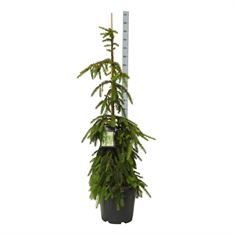 Picture of Picea abies Inversa