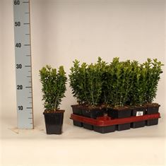 Picture of Buxus sempervirens 15-20 P9