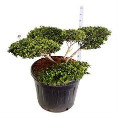 Picture of Ilex crenata Green Lustre