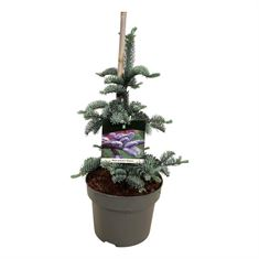 Picture of Abies procera Glauca