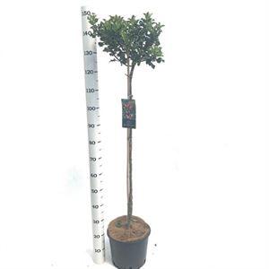 Picture of Ilex aquifolium Blue Princess stem 100 cm