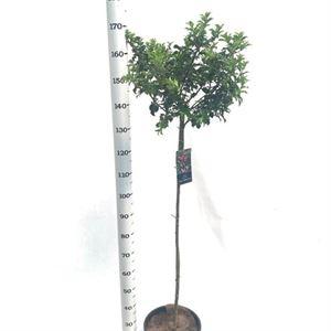 Picture of Ilex aquifolium Blue Princess stem 120 cm