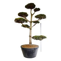 Picture of Pinus nigra nigra