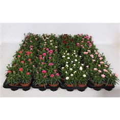 Picture of Dianthus Oscar Mix