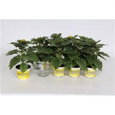 Picture of Helianthus Sunsation 2/3 - yellow pot 12cm