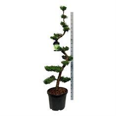 Picture of Juniperus chin. kaizuka