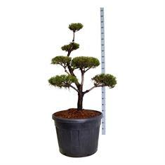 Picture of Pinus contorta