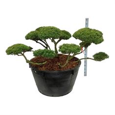 Picture of Pinus mugo mughus