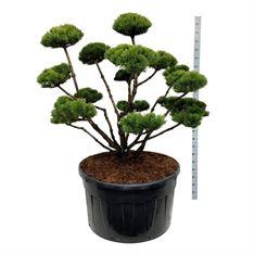 Picture of Pinus mugo mumpitz