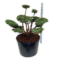 Picture of Pinus sylv. watereri