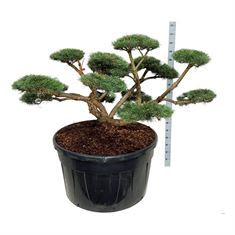 Picture of Pinus sylv. repens