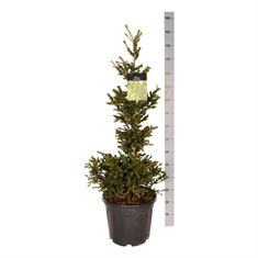 Picture of Picea abies Wills Zwerg