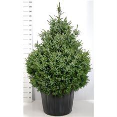 Picture of Picea omorika Nana