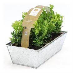 Picture of Buxus semp. 6-Pack in Zinc Old-Look (Minimum order is 1 shelf)