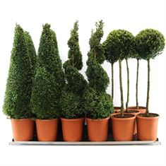 Picture of Buxus semp. Special Models XL Mix Shelf