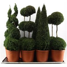 Picture of Buxus semp. Special Models XXL Mix Shelf