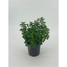 Picture of Origanum vulgare subsp. hirtum