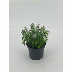 Picture of Thymus x citriodorus