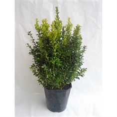 Picture of Buxus sempervirens