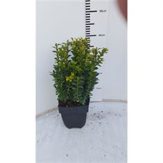 Picture of Buxus sempervirens P17