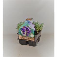 Picture of Lavandula angustifolia Hidcote