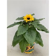 Picture of Helianthus Sunsation