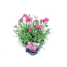 Picture of Dianthus sunflor odessa twiggy