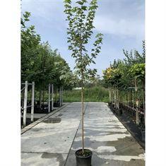 Picture of Acer platanoides Drummondii C35 High std. 10/12
