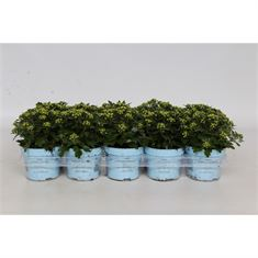 Picture of Ajania Pacific White/Silver - baby blue pot