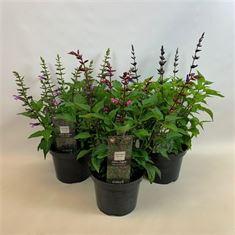 Picture of Salvia Salgoon�  Series in 19cm pot