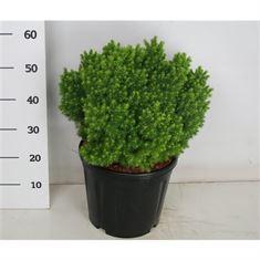 Picture of Picea glauca Alberta Globe
