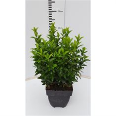 Picture of Euonymus jap . Green Spire