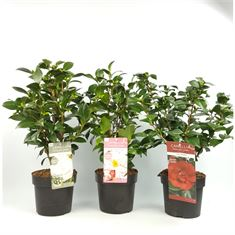 Picture of Camellia Jap. mixed varieties