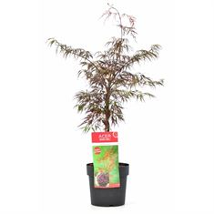 Picture of Acer palm. Firecracker® extra quality