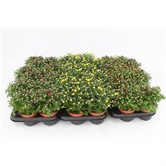 Picture of Chrysanthemum Gardenmum Mix Layer