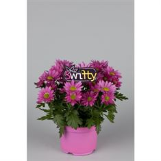 Picture of Potchrysant Swifty Pink
